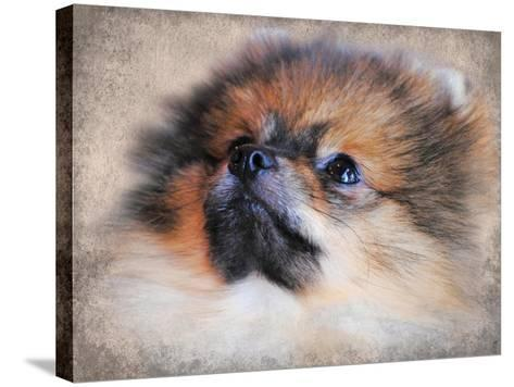 Pomeranian Portrait-Jai Johnson-Stretched Canvas Print