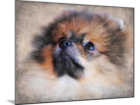 Pomeranian Portrait-Jai Johnson-Mounted Giclee Print