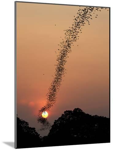 Bat Swarm at Sunset-Jean De-Mounted Photographic Print