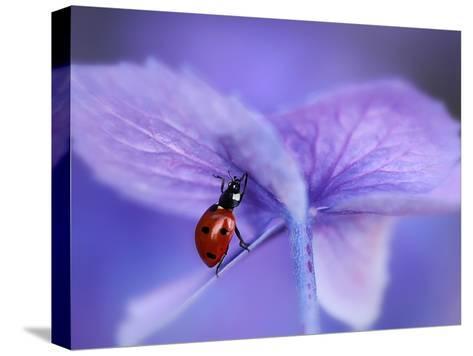 Ladybird on Purple Hydrangea-Ellen Van-Stretched Canvas Print