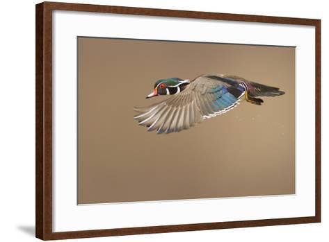 Wood Duck-Mircea Costina-Framed Art Print