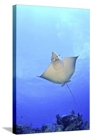 Spotted Eagle Ray Glides over the Wall, Eagle Ray Pass, Grand Cayman-Stocktrek Images-Stretched Canvas Print