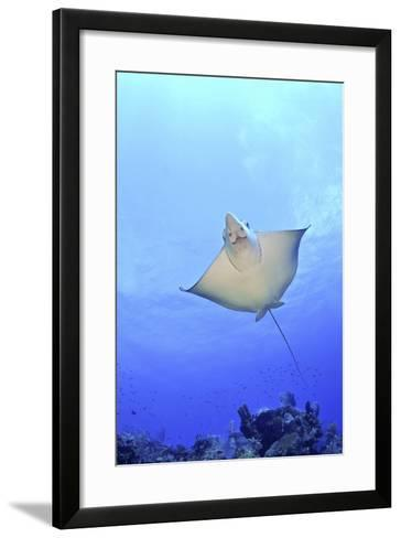 Spotted Eagle Ray Glides over the Wall, Eagle Ray Pass, Grand Cayman-Stocktrek Images-Framed Art Print