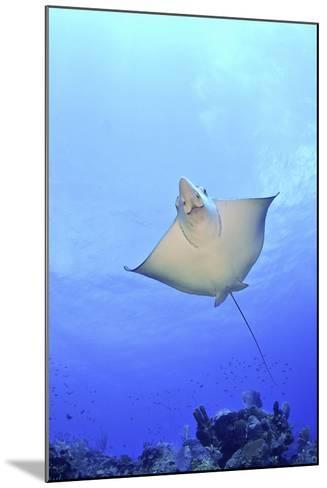 Spotted Eagle Ray Glides over the Wall, Eagle Ray Pass, Grand Cayman-Stocktrek Images-Mounted Photographic Print