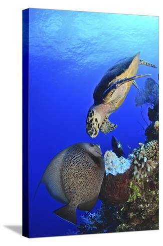 Hawksbill Sea Turtle and Gray Angelfish Share a Special Moment-Stocktrek Images-Stretched Canvas Print