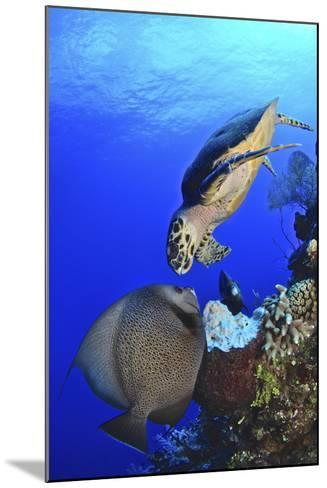 Hawksbill Sea Turtle and Gray Angelfish Share a Special Moment-Stocktrek Images-Mounted Photographic Print