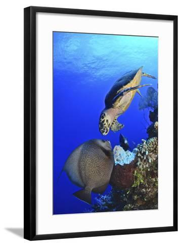 Hawksbill Sea Turtle and Gray Angelfish Share a Special Moment-Stocktrek Images-Framed Art Print