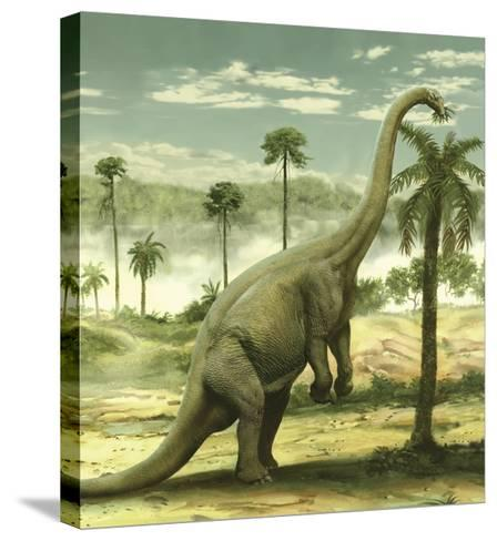 Apatosaurus Feeding on the Leaves of a Tree-Stocktrek Images-Stretched Canvas Print