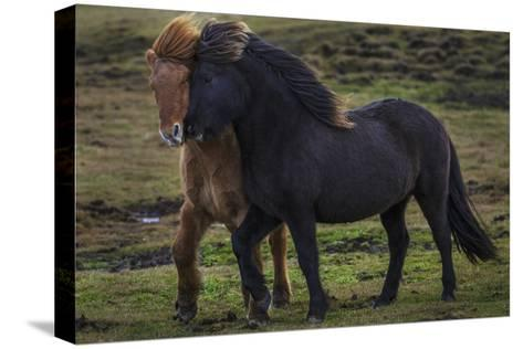 Icelandic Horses-Art Wolfe-Stretched Canvas Print