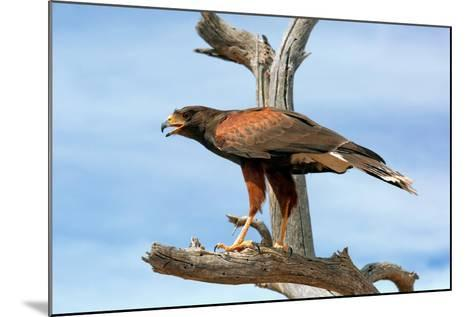 Harris Hawk, Parabuteo Unicinctus-Susan Degginger-Mounted Photographic Print