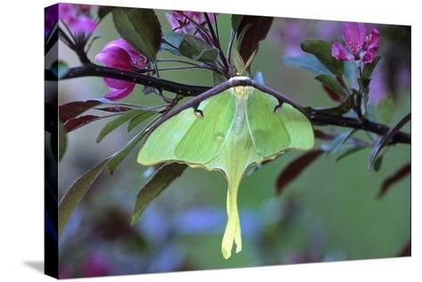 USA, Pennsylvania. Luna Moth on Cherry Tree in Spring-Jaynes Gallery-Stretched Canvas Print