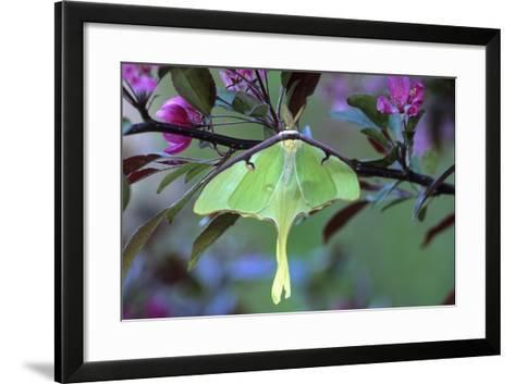 USA, Pennsylvania. Luna Moth on Cherry Tree in Spring-Jaynes Gallery-Framed Art Print