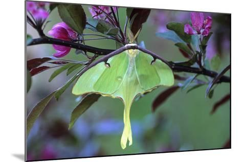 USA, Pennsylvania. Luna Moth on Cherry Tree in Spring-Jaynes Gallery-Mounted Photographic Print
