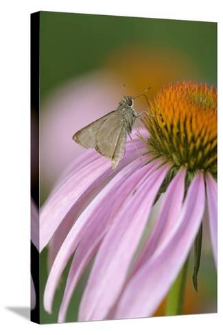 USA, Pennsylvania. Skipper Butterfly on Cone Flower-Jaynes Gallery-Stretched Canvas Print
