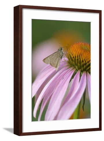 USA, Pennsylvania. Skipper Butterfly on Cone Flower-Jaynes Gallery-Framed Art Print