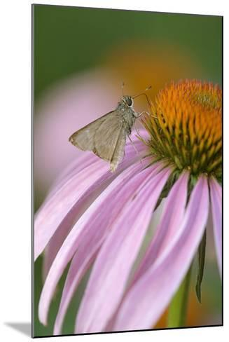 USA, Pennsylvania. Skipper Butterfly on Cone Flower-Jaynes Gallery-Mounted Photographic Print