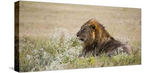 Africa, Namibia, Etosha National Park. Adult Male Lion Resting-Jaynes Gallery-Stretched Canvas Print