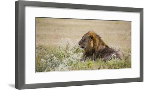 Africa, Namibia, Etosha National Park. Adult Male Lion Resting-Jaynes Gallery-Framed Art Print