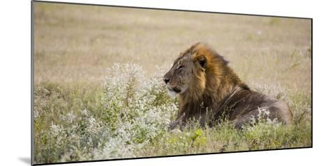 Africa, Namibia, Etosha National Park. Adult Male Lion Resting-Jaynes Gallery-Mounted Photographic Print