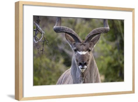 Africa, Namibia, Etosha National Park. Close Up of Kudu Bull Head-Jaynes Gallery-Framed Art Print