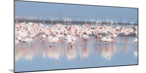 Africa, Namibia, Walvis Bay. Group of Greater Flamingos-Jaynes Gallery-Mounted Photographic Print