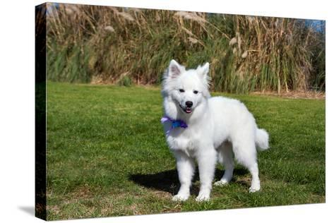 American Eskimo Puppy in Field-Zandria Muench Beraldo-Stretched Canvas Print