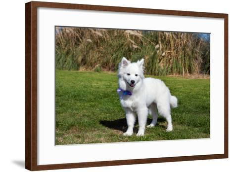 American Eskimo Puppy in Field-Zandria Muench Beraldo-Framed Art Print