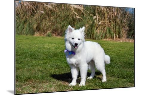 American Eskimo Puppy in Field-Zandria Muench Beraldo-Mounted Photographic Print