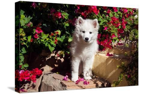 American Eskimo Puppy Sitting on Garden Stairs-Zandria Muench Beraldo-Stretched Canvas Print