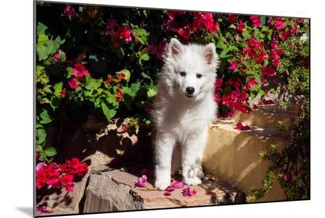 American Eskimo Puppy Sitting on Garden Stairs-Zandria Muench Beraldo-Mounted Photographic Print