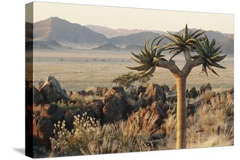 Namibia, Naukluft National Park, Quiver Tree, Aloe, Kokerboom-Stuart Westmorland-Stretched Canvas Print