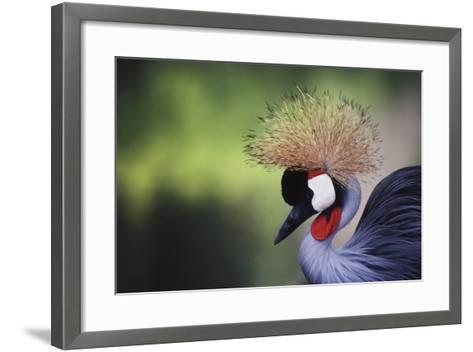 African Crowned Crane, Balearica Rugelorum Gibbericepes-Stuart Westmorland-Framed Art Print