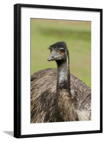 Australia, Adelaide. Cleland Wildlife Park. Large Flightless Emu-Cindy Miller Hopkins-Framed Art Print