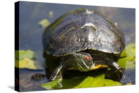 Wa, Juanita, Juanita Bay Wetland, Painted Turtle, Chrysemys Picta-Jamie And Judy Wild-Stretched Canvas Print