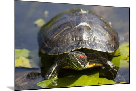 Wa, Juanita, Juanita Bay Wetland, Painted Turtle, Chrysemys Picta-Jamie And Judy Wild-Mounted Photographic Print