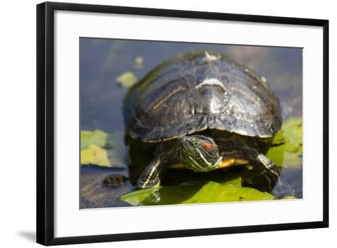 Wa, Juanita, Juanita Bay Wetland, Painted Turtle, Chrysemys Picta-Jamie And Judy Wild-Framed Art Print