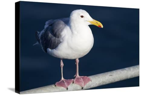 Wa, San Juan Islands, Glaucous Winged Gull, Larus Glaucescens-Jamie And Judy Wild-Stretched Canvas Print