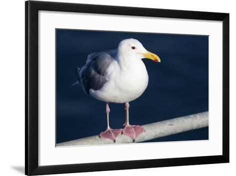 Wa, San Juan Islands, Glaucous Winged Gull, Larus Glaucescens-Jamie And Judy Wild-Framed Art Print