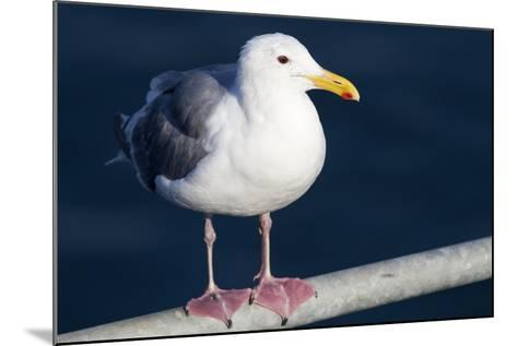 Wa, San Juan Islands, Glaucous Winged Gull, Larus Glaucescens-Jamie And Judy Wild-Mounted Photographic Print