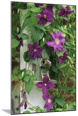 USA, Pennsylvania. Wren in Birdhouse and Clematis Vine-Jaynes Gallery-Mounted Photographic Print
