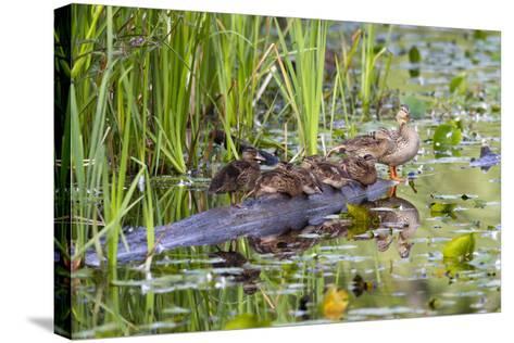Washington, Juanita Bay Wetland, Mallard Fe Duck and Ducklings-Jamie And Judy Wild-Stretched Canvas Print