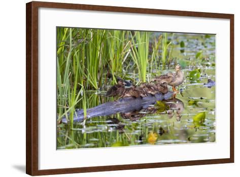 Washington, Juanita Bay Wetland, Mallard Fe Duck and Ducklings-Jamie And Judy Wild-Framed Art Print