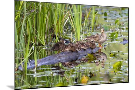 Washington, Juanita Bay Wetland, Mallard Fe Duck and Ducklings-Jamie And Judy Wild-Mounted Photographic Print