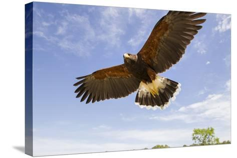 Kendall County, Texas. Harriss Hawk Landing, Captive Bird-Larry Ditto-Stretched Canvas Print