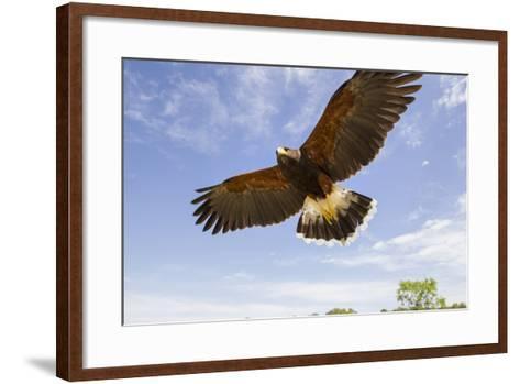 Kendall County, Texas. Harriss Hawk Landing, Captive Bird-Larry Ditto-Framed Art Print