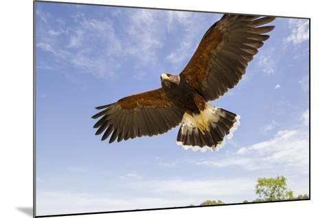 Kendall County, Texas. Harriss Hawk Landing, Captive Bird-Larry Ditto-Mounted Photographic Print