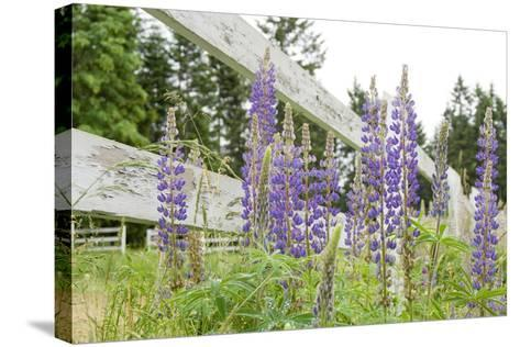 Canada, British Columbia, Vancouver Island. Lupine, Lupinus-Kevin Oke-Stretched Canvas Print