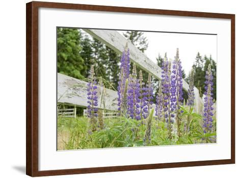 Canada, British Columbia, Vancouver Island. Lupine, Lupinus-Kevin Oke-Framed Art Print