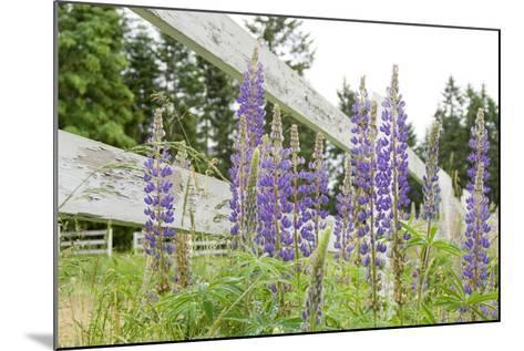Canada, British Columbia, Vancouver Island. Lupine, Lupinus-Kevin Oke-Mounted Photographic Print