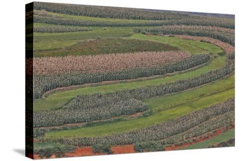 Canola and Corn Crop,Kunming Dongchuan Red Land, China-Darrell Gulin-Stretched Canvas Print